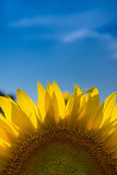 Sunflower and blue sky. Sunflower with blue sky in a farm field in rural Illinois, United States Stock Image