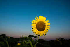 Sunflower and blue sky. Sunflower with blue sky in a farm field in rural Illinois, United States Stock Photos