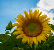 Sunflower and blue sky. Sunflower with blue sky in a farm field in rural Illinois, United States Royalty Free Stock Photography