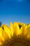 Sunflower and blue sky. Sunflower with blue sky in a farm field in rural Illinois, United States Royalty Free Stock Photos