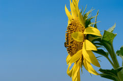 Sunflower with blue sky. At sunflower field, Khao Jean Lae, Lopburi, Thailand Royalty Free Stock Photography