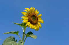 Sunflower with blue sky. At sunflower field, Khao Jean Lae, Lopburi, Thailand Royalty Free Stock Images