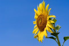 Sunflower with blue sky. At sunflower field, Khao Jean Lae, Lopburi, Thailand Royalty Free Stock Photos