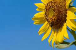Sunflower with blue sky. At sunflower field, Khao Jean Lae, Lopburi, Thailand Stock Photo