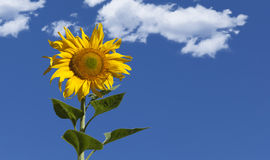 Sunflower Blue Sky Royalty Free Stock Image