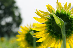 Sunflower. Blue sky in garden Royalty Free Stock Photography