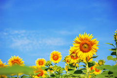 Sunflower with a blue sky. Stock Image