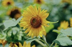 Sunflower and blue sky. In indonesia Royalty Free Stock Photos