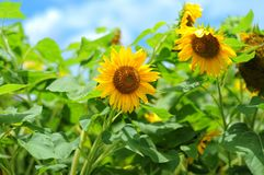 Sunflower and blue sky. In indonesia Stock Photography