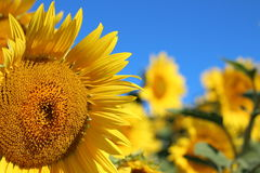 Sunflower with blue sky in Newburyport, MA Royalty Free Stock Photos