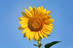 Sunflower with blue sky Royalty Free Stock Photo