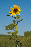 Sunflower with blue sky. In the summer season Royalty Free Stock Photography