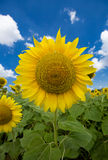 Sunflower and the blue sky. With clouds Stock Photography
