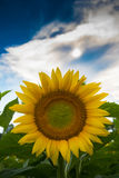 Sunflower and blue sky. Sunflower with blue sky in a farm field in rural Illinois, United States Royalty Free Stock Images