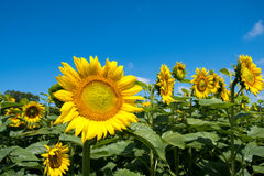 Sunflower and blue sky. Sunflower with blue sky in a farm field in rural Illinois, United States Stock Images