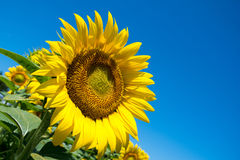 Sunflower and blue sky. Sunflower with blue sky in a farm field in rural Illinois, United States Royalty Free Stock Photo