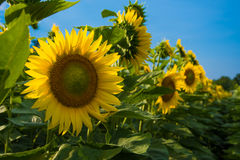 Sunflower and blue sky. Sunflower with blue sky in a farm field in rural Illinois, United States Stock Photography
