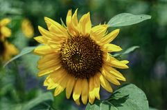 Sunflower and blue sky. In indonesia Stock Images