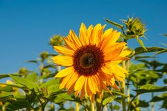 Sunflower with blue sky. On a summer day Stock Image