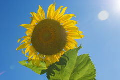 Sunflower and blue sky at sunny day.  stock photos
