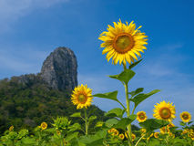 Sunflower blue sky Royalty Free Stock Photo