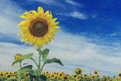 Sunflower and blue sky ,vintage filter. Sunflower and blue sky ,vintage filter royalty free stock photos