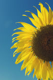 Sunflower and blue sky ,vintage filter. Sunflower and blue sky ,vintage filter stock image