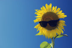 Sunflower and blue sky ,vintage filter.  royalty free stock photography