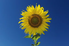 Sunflower and blue sky ,vintage filter. Sunflower and blue sky ,vintage filter royalty free stock photo