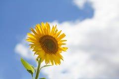 Sunflower blue sky white clouds background. Summertime idyllic landscape scene. Stock Photography