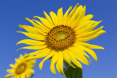 Sunflower with blue sky Royalty Free Stock Photos