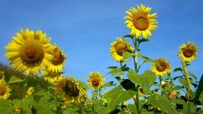 Sunflower. Blue sky yellow Rhailand Stock Photos