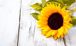 Sunflower on blue wooden background Royalty Free Stock Images