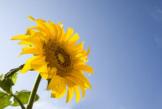 Sunflower  with a bluesky Stock Images