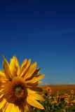 Sunflower on bluesky background. Sunflower closeup, taken summer time on blue-sky background Royalty Free Stock Images