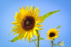Sunflower with blur background on sunny day during the summer season. Stock Photos