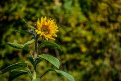Sunflower on blurred background Royalty Free Stock Image