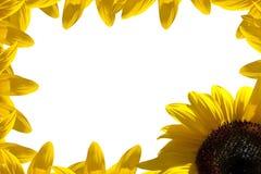 Sunflower border. A border of sunflower on white Royalty Free Stock Image