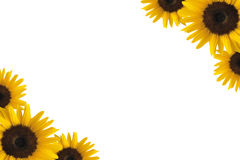 Sunflower Border Stock Image