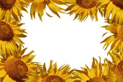 Sunflower border Stock Photo
