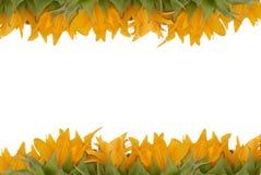Sunflower border Royalty Free Stock Photography