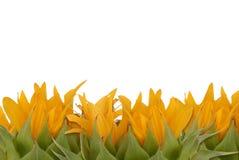 Sunflower border Stock Photo