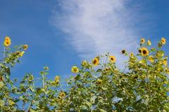 Sunflower Border against Blue Sky Royalty Free Stock Image