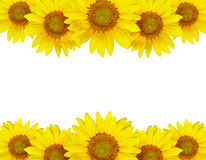 Sunflower border arrangement Royalty Free Stock Photo