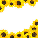 Sunflower Border Isolated on White Royalty Free Stock Images