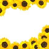 Sunflower Border Isolated on White Royalty Free Stock Images