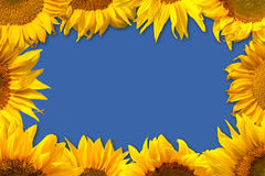 Sunflower Border. White wooden plates and a sunflower border Stock Images