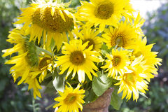 Sunflower bouquet. In jug on wooden table over bokeh background Royalty Free Stock Image