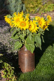Sunflower bouquet in a milk churn Royalty Free Stock Image