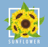 Sunflower bouquet with white frame and blue background. Sunflower bouquet with leaves, white frame and blue background. Realistic vector illustration for summer Stock Photos